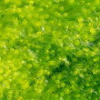 Ulva alga background — Stock Photo