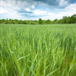 Green wheat field — Stock Photo #13372418