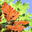 Oak leaves autumnal colors — Stock Photo