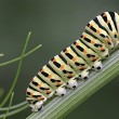Papilio machaon's caterpillar — Stock Photo