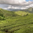 Cameron tea plantations — Stock Photo