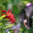 Vibrating butterfly (Pachliopta aristolochiae) — Stock Photo