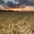 Wheat field at dusk — Stock Photo
