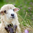 Cute sheep in meadow — Stockfoto