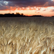 Golden wheat at sunset — Stockfoto