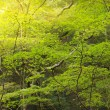 Sunbeam in maple forest — Stock Photo