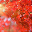 Japanese red maple tree — Stock Photo #13375086
