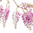 Pink wisteria flowers - Photo