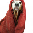Crazy emperor dog — Stock Photo