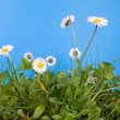 Spring daisies and grass - Stock Photo