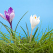 Crocus and grass - Stock Photo