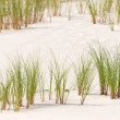 Ammophila arenaria grass on a dune — Stock Photo #13379961