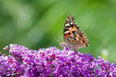 бабочка репейницы — Стоковое фото