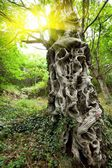 Sweet chestnut tree trunk — Stock Photo