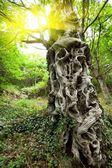 Sweet chestnut tree trunk — Stock Photo
