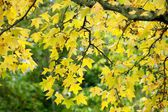Autumn maple branch — Stock Photo