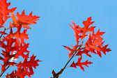 Red oak under blue sky — Stock Photo