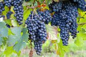 Dark blue grapes on vines — Stock Photo