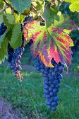 Blue grape on vines — Stock Photo
