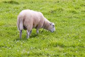 Sheep in wild green meadow — Stock Photo