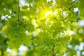 Oak tree leaves sunlight — Stock Photo