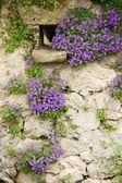 Bellflowers on old wall — Stock Photo