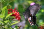 Vibrating butterfly (Pachliopta aristolochiae) — Stock Photo