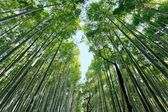 Japanese bamboo forest — Stock Photo