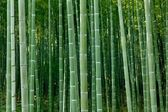 Dense bamboo forest — Stock Photo