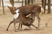 Deer love — Stock Photo
