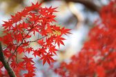Red maple leaves — Stockfoto