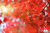 Japanese red maple tree — Stock Photo