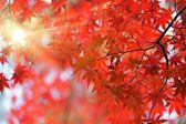 Japonský červený javor — Stock fotografie