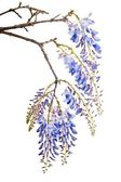 Blue wisteria flowers — Stock Photo