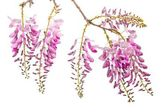 Pink wisteria flowers — Stock Photo