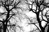Oak tree winter silhouette — Stock Photo