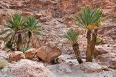 Palm trees in rock desert — Stock Photo
