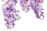 Wisteria closeup — Stock Photo