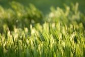 Luce solare sul campo di orzo — Foto Stock