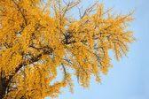 Hojas amarillas en árbol — Foto de Stock