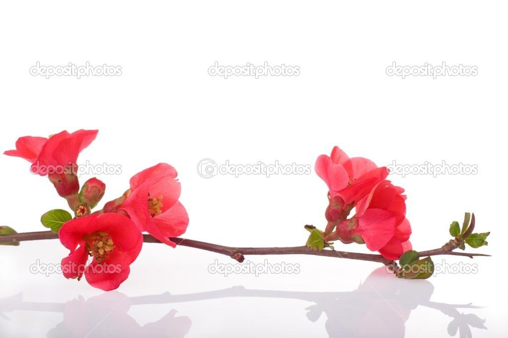Arbres fruitiers fleurs rouges photographie smithore 13373566 - Arbre fleurs rouges printemps ...