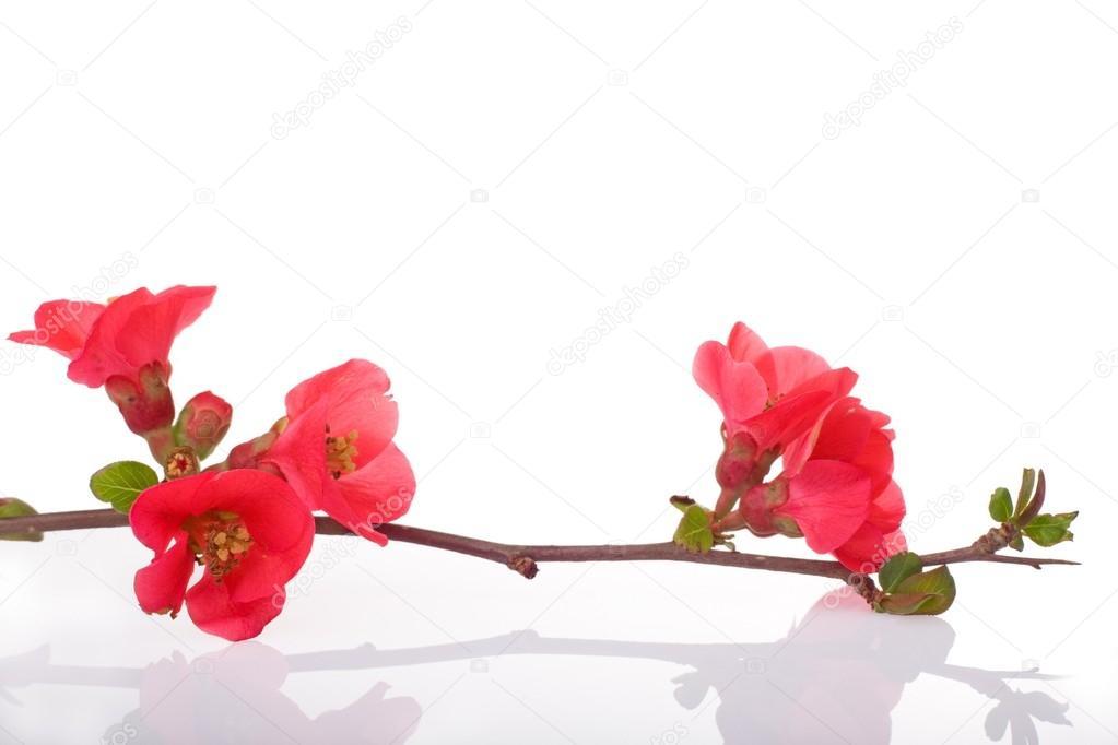 Arbres fruitiers fleurs rouges photo 13373566 - Arbres a fleurs rouges ...