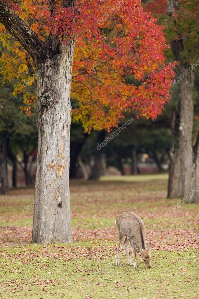 Young deer grazing in Nara Park at fall season, Kyoto, Japan — Stock Photo #13374943
