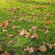 Plane tree fallen leaves — Stock Photo