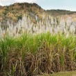Sugar cane plantation — Stock Photo