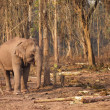 Wild elephant in Laos — Stock Photo