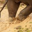 Elephant walking in mud — Stock Photo