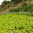 Organic salad field — Stock Photo