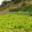 Stock Photo: Organic salad field