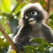 Langur portrait - Stock Photo